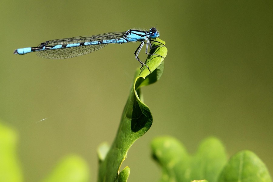 Common Blue Damselfly - Harold Country Park (5874158489)