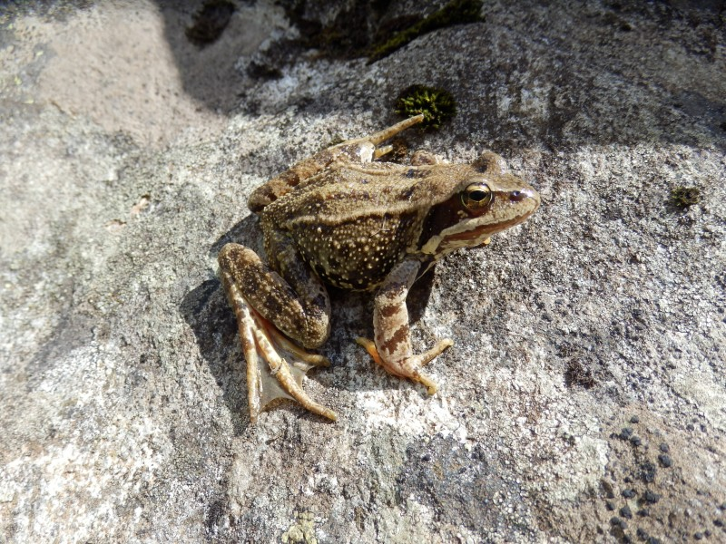 Common frog, Ariège, France