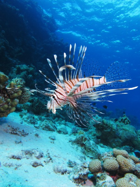 Common lionfish at Shaab El Erg reef