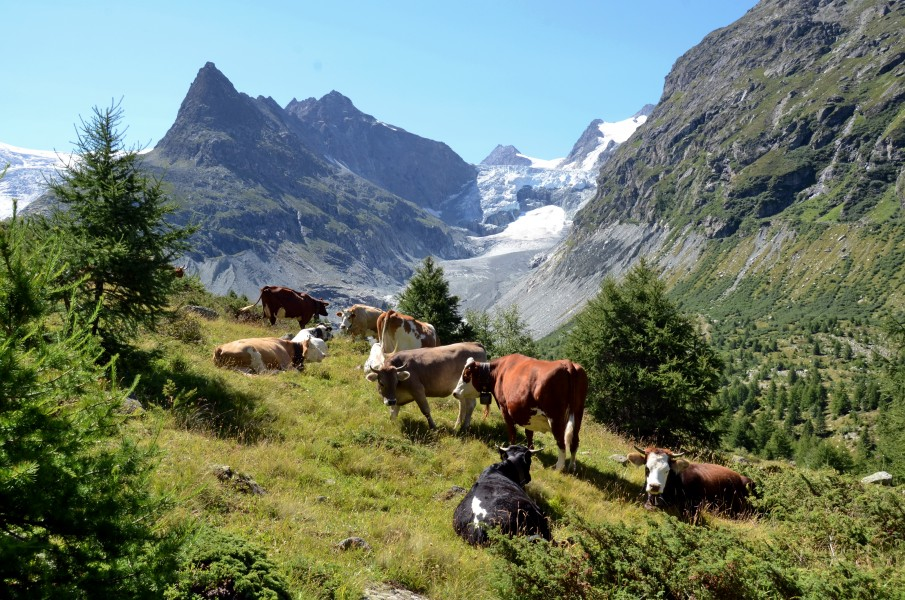 Cows in the mountain area with the Mont Mine and the melting down glacier Wallis - panoramio