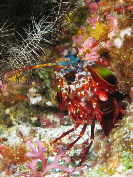 Curious mantis shrimp from Gilli Banta reef