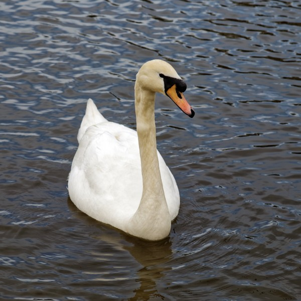 Cygnus olor at Lordship Recreation Ground Haringey London England - mute swan 1