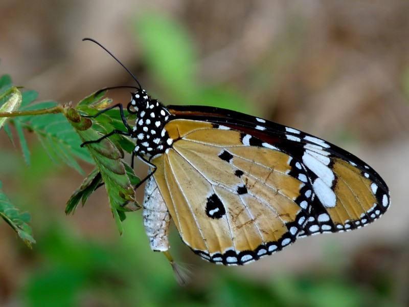 Danaus chrysippus male 2 by kadavoor