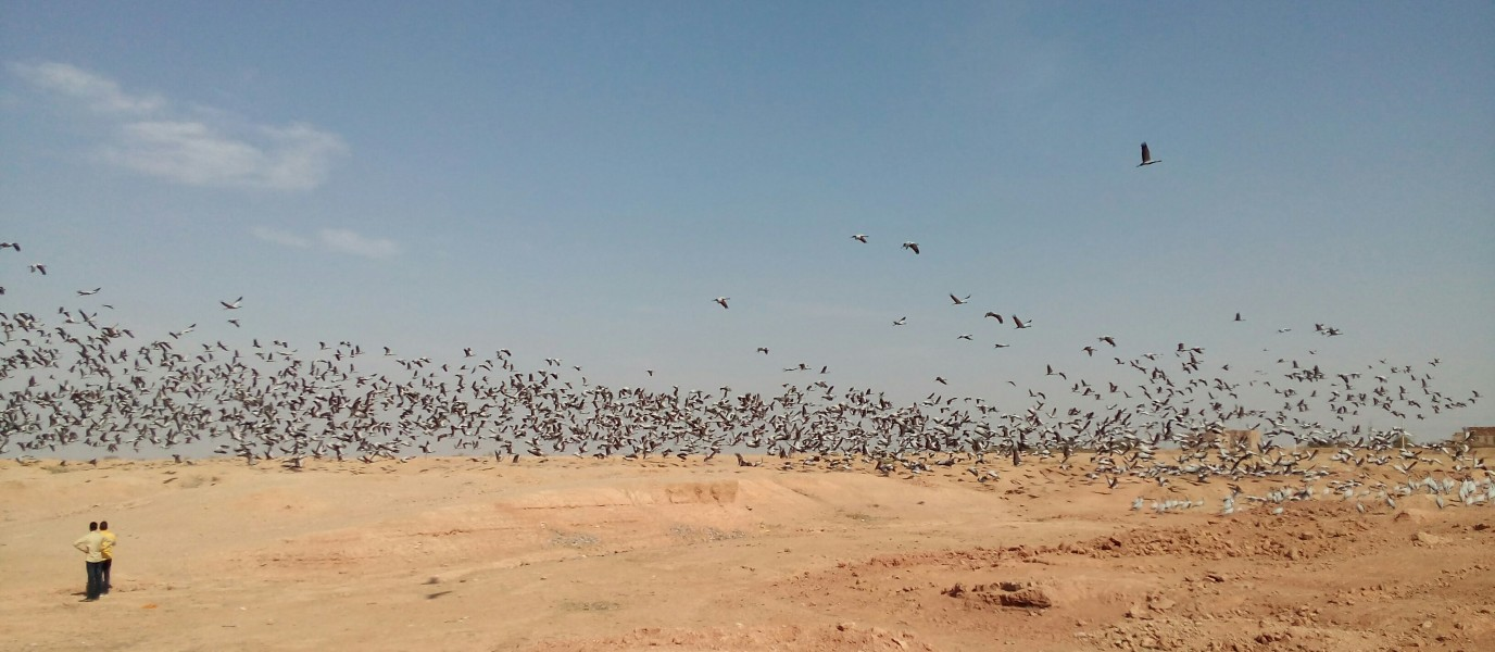 Demoiselle Cranes flying on the sky at Khichan (12)