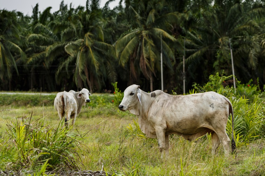District-Kunak Sabah Cows-in-front-of-Oilpalm-trees