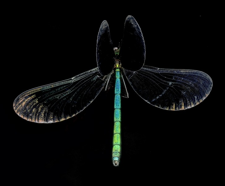 Ebony Jewelwing Damselfly, U, Wings, PG County, Maryland 2013-06-12-16.24.58 ZS PMax (9029610446)