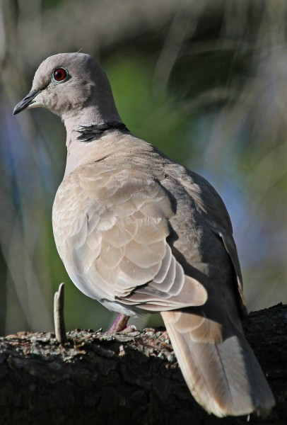 Eurasian Collared Dove - Streptopelia decaocto, Reifel Sanctuary, Ladner, British Columbia