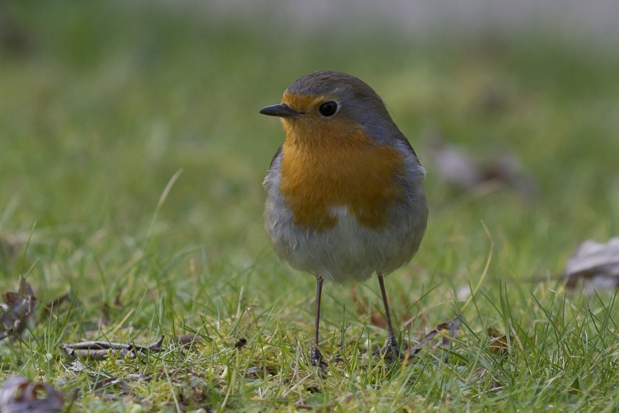 European robin in japanese garden in Toulouse - facing left