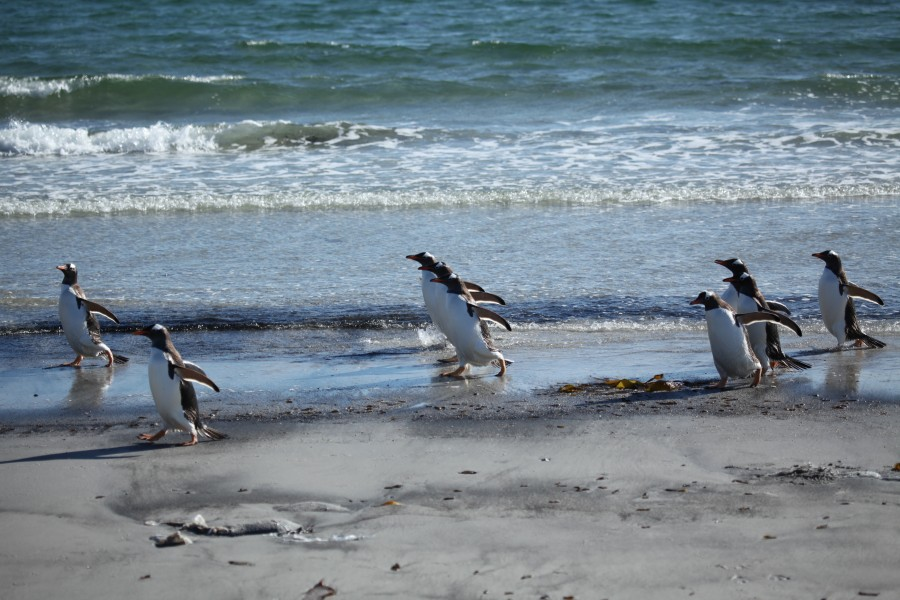 Gentoo Penguins walking on the beach (5611522531)