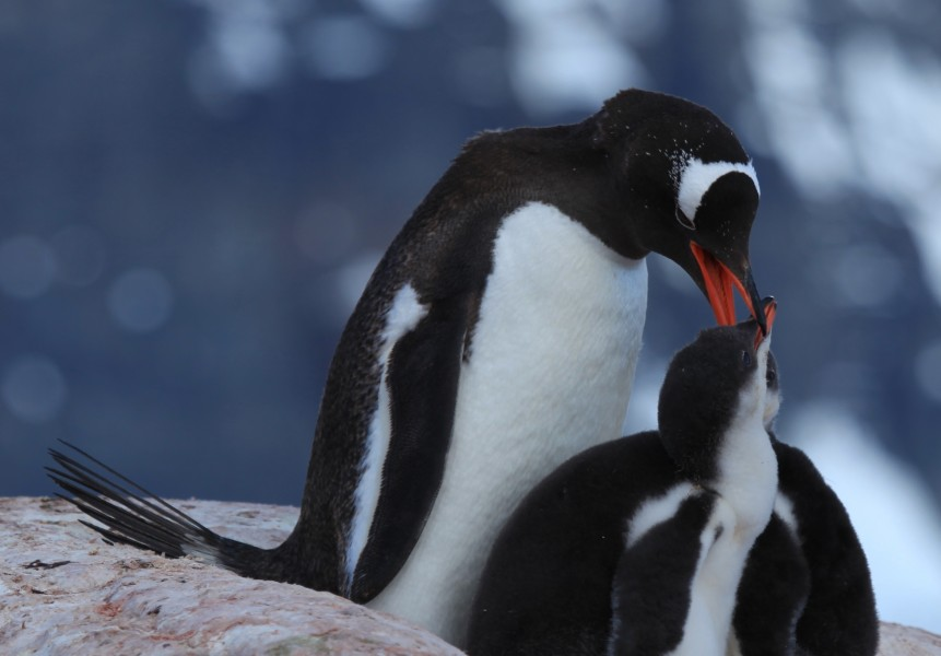 Gentoo Penguins with chicks at Jougla Point, Antarctica (6063657454)