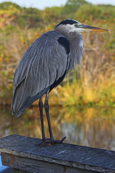 Great Blue Heron - Ardea herodias, Anhinga Trail, Everglades National Park, Homestead, Florida