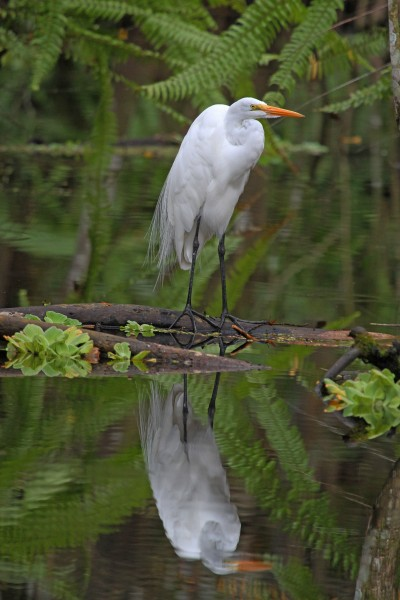 Great Egret - Ardea alba, Bird Rookery Swamp, Collier County, Florida