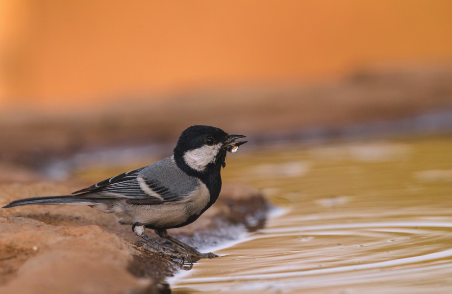 Great Tit-Thirst