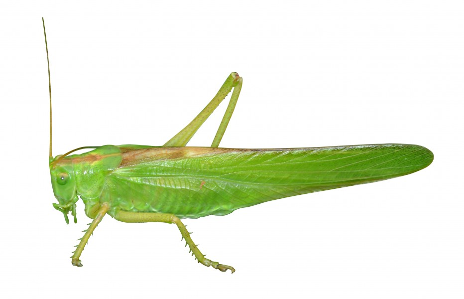 Green grashopper on white background