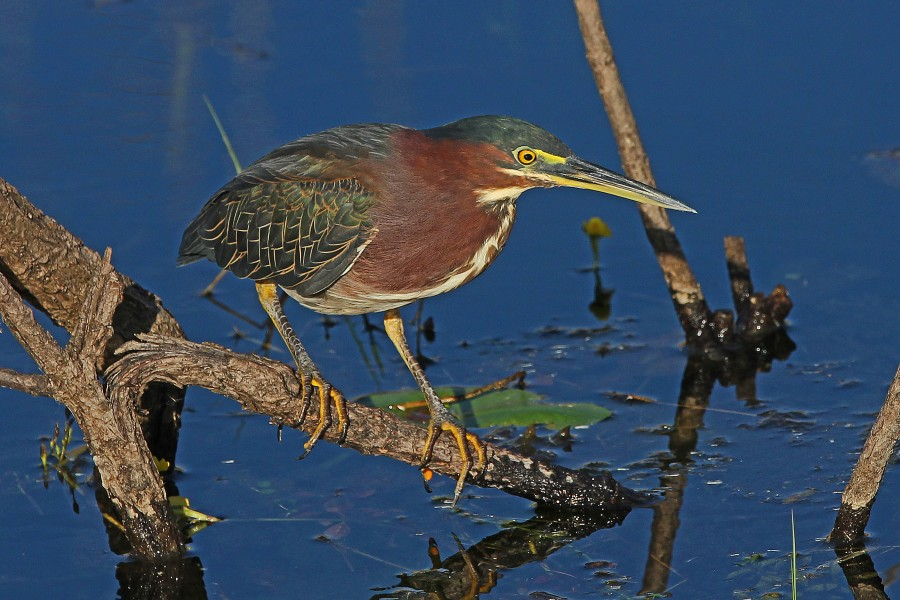 Green Heron - Buterides virescens, Everglades National Park, Homestead, Florida