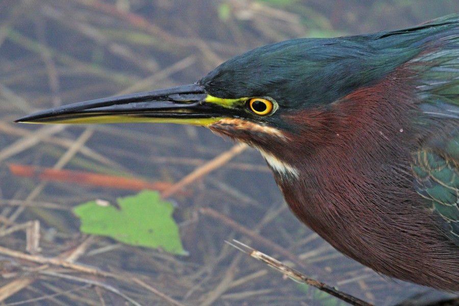 Green Heron - Butorides virescens, Everglades National Park, Homestead, Florida - 25463115261
