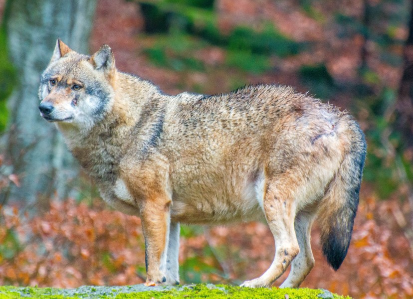 Grey wolf in Bavarian Forest National Park