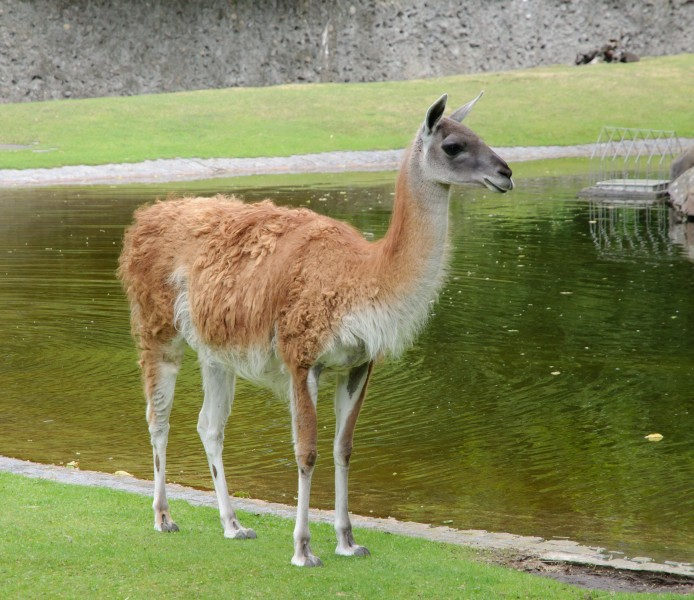 Guanaco - Berlin zoo