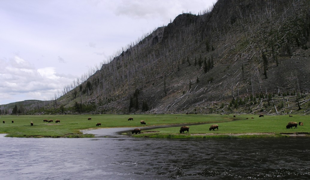 Herd of Bison near Madison Junction