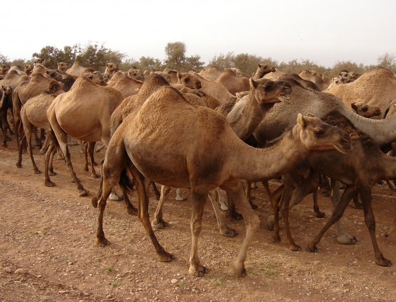 Herd of dromedaries, Marocco