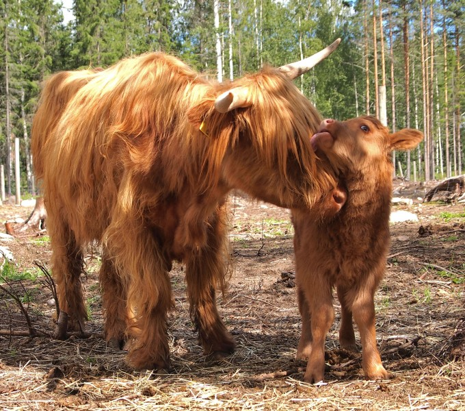 Highland cattle licking