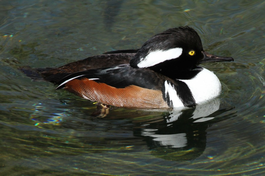 Hooded Merganser - Lophodytes cucullatus, Baltimore Zoo, Baltimore, Maryland