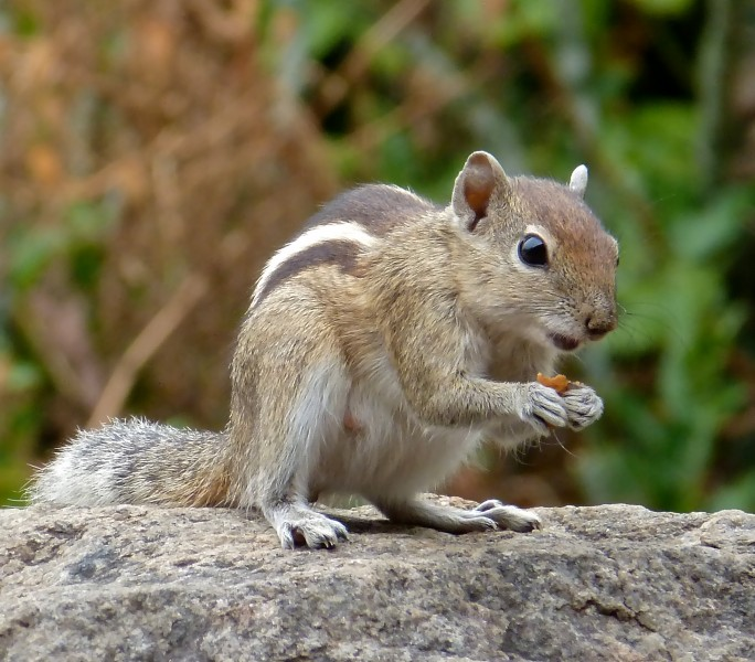 Indian Palm Squirrel 2013