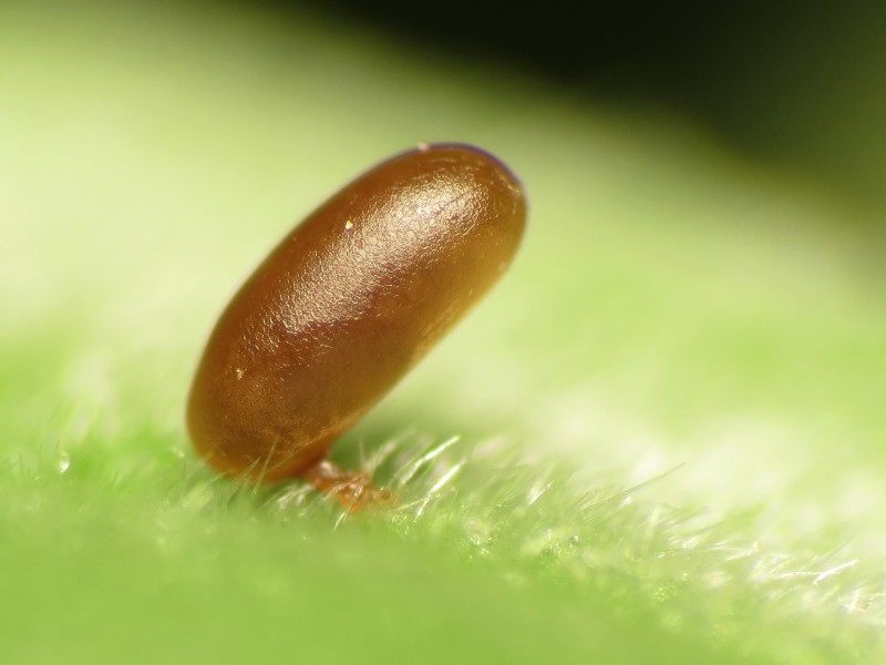 Insect Egg - Flickr - treegrow