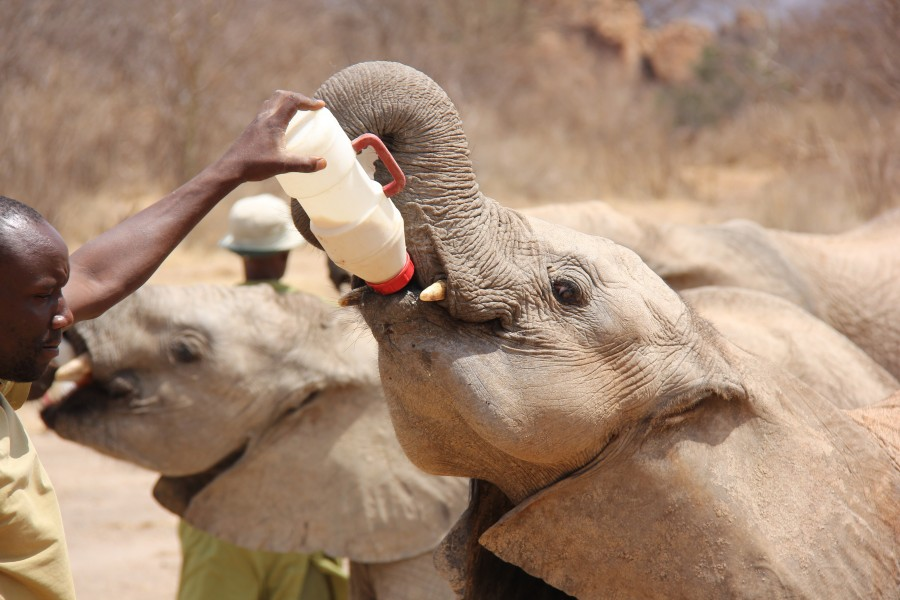 Ivory Orphans of Kenya 2013 (14721473800)