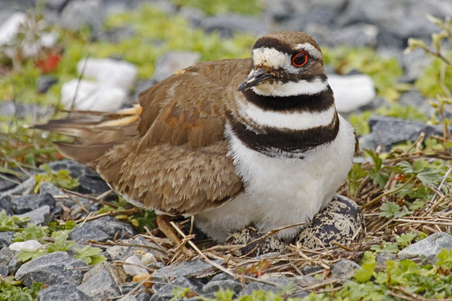 Killdeer - Charadrius vociferus, Blackwater National Wildlife Refuge, Cambridge, Maryland - 7033351019