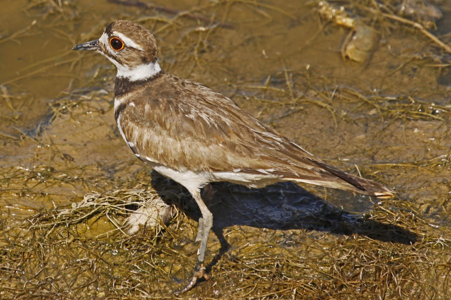 Killdeer - Charadrius vociferus, Bosque del Apache National Wildlife Refuge, San Antonio, New Mexico