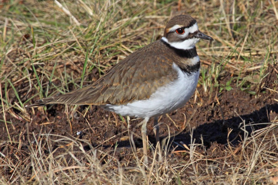 Killdeer - Charadrius vociferus, Occoquan Bay Wildlife Refuge, Virginia