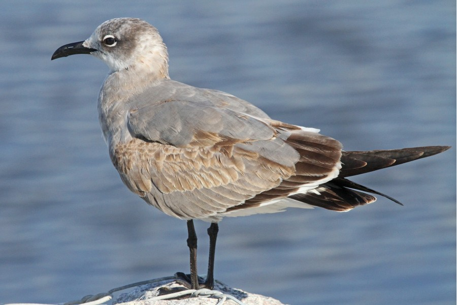 Laughing Gull - Leucophaeus atricilla, Lake Okeechobee, Florida