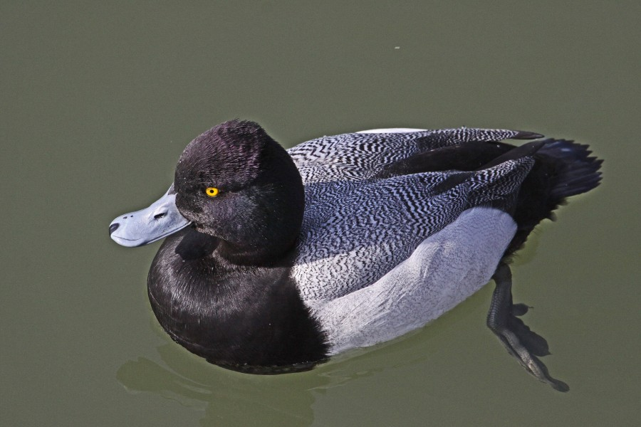 Lesser Scaup - Reifel Refuge, Ladner, British Columbia