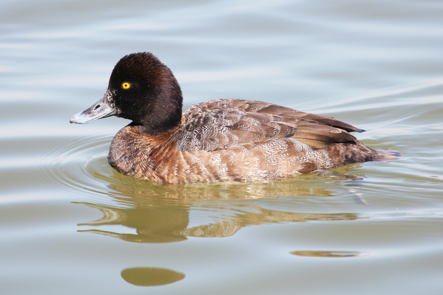 Lesser Scaup (female) - Aythya affinis, Oakley Street, Cambridge, Maryland