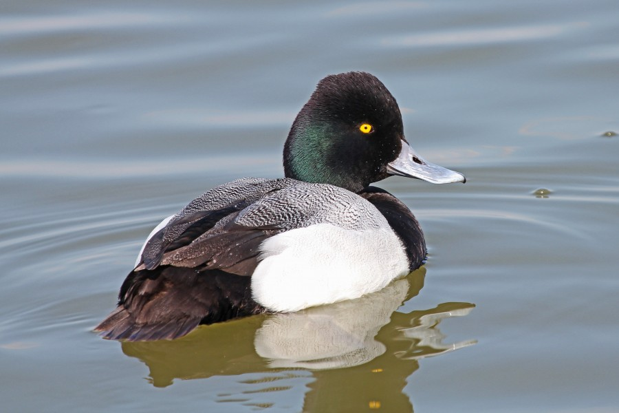 Lesser Scaup (male) - Aythya affinis, Oakley Street, Cambridge, Maryland