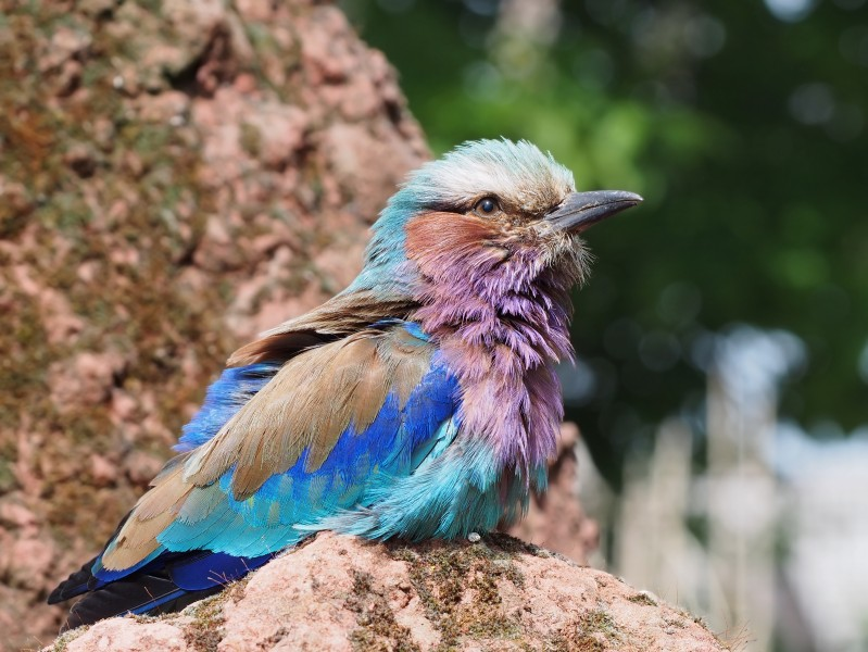 Lilac-breasted Roller 1