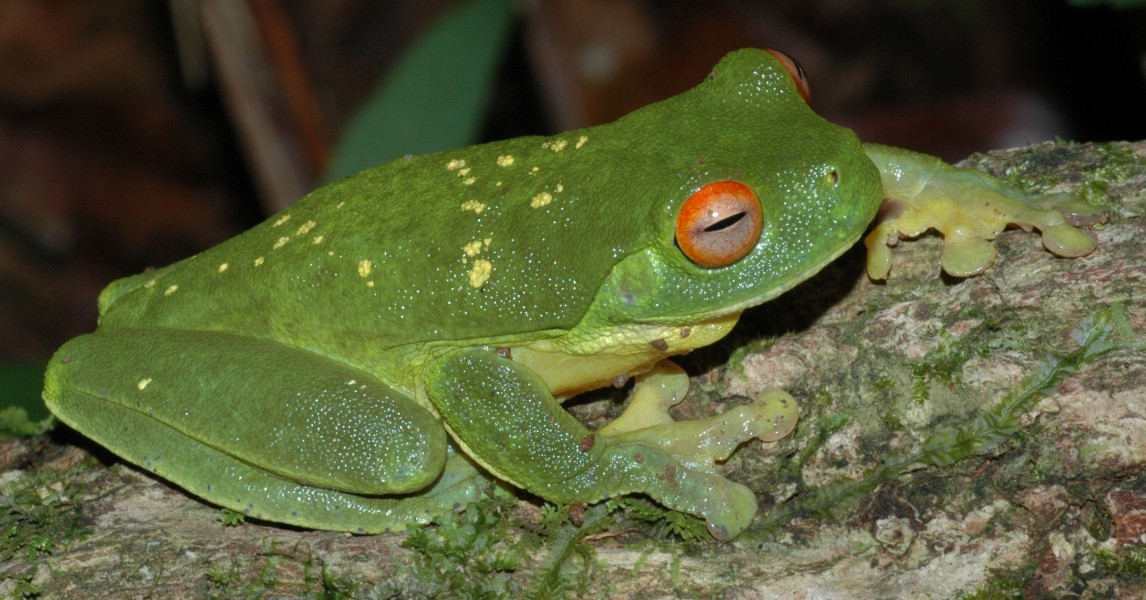 Litoria chloris yellowspots