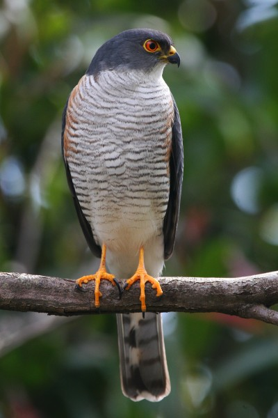 Little Banded Goshawk - Accipiter badius, Port Edward, Kwazulu-Natal, South Africa