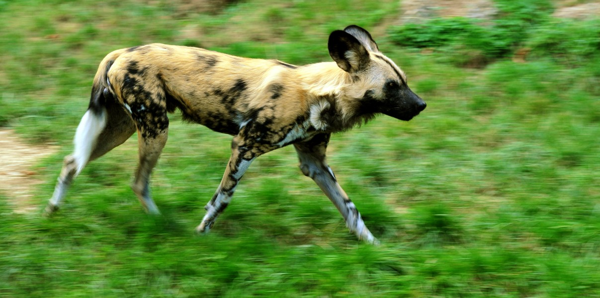 Lycaon pictus running - adjusted