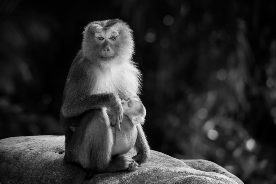 Macaca leonina, Northern pig-tailed macaque - Khao Yai National Park (11669396224)
