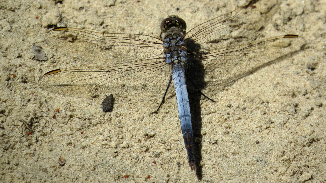 Male Blue Skimmer dorsal (15921456482)
