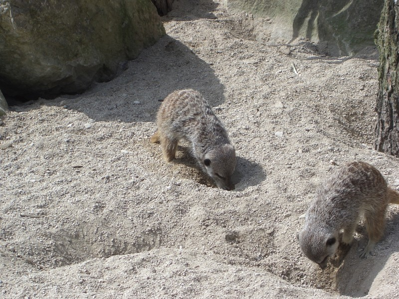 Meerkats Digging 1 Zoo May 2005
