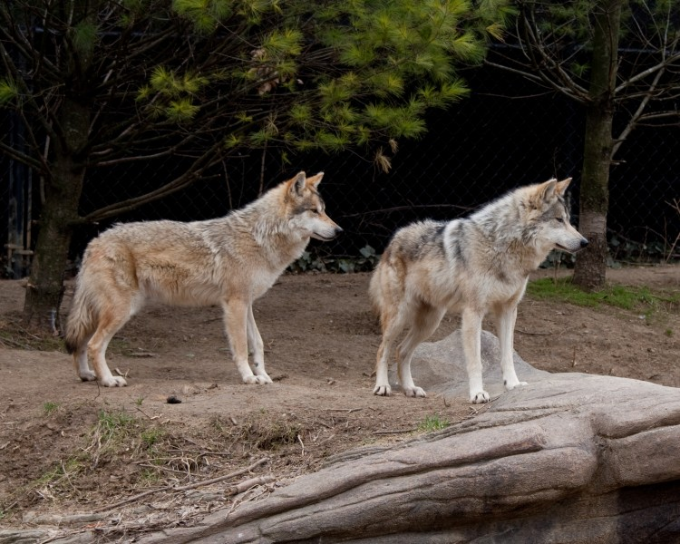 Mexican Wolf 25