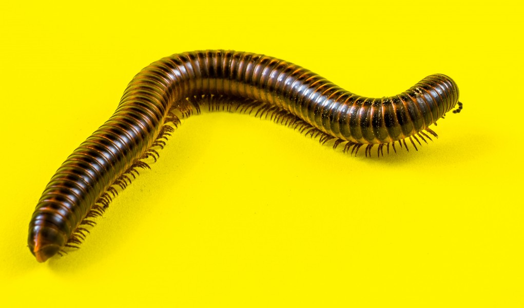 Millipede on Yellow-346160