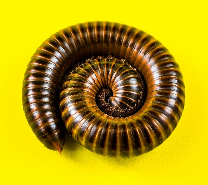 Millipede on Yellow-346165