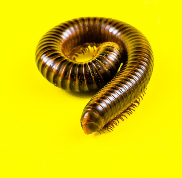 Millipede on Yellow-346173