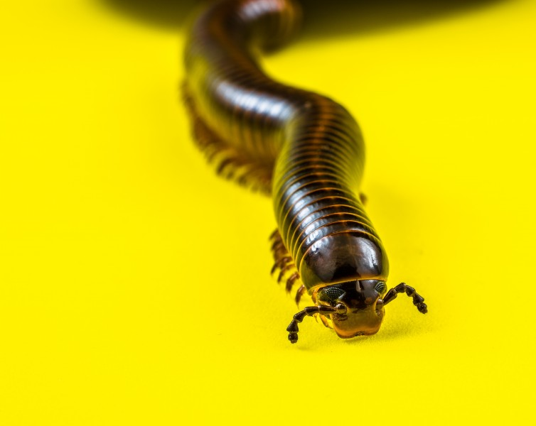 Millipede on Yellow-346192