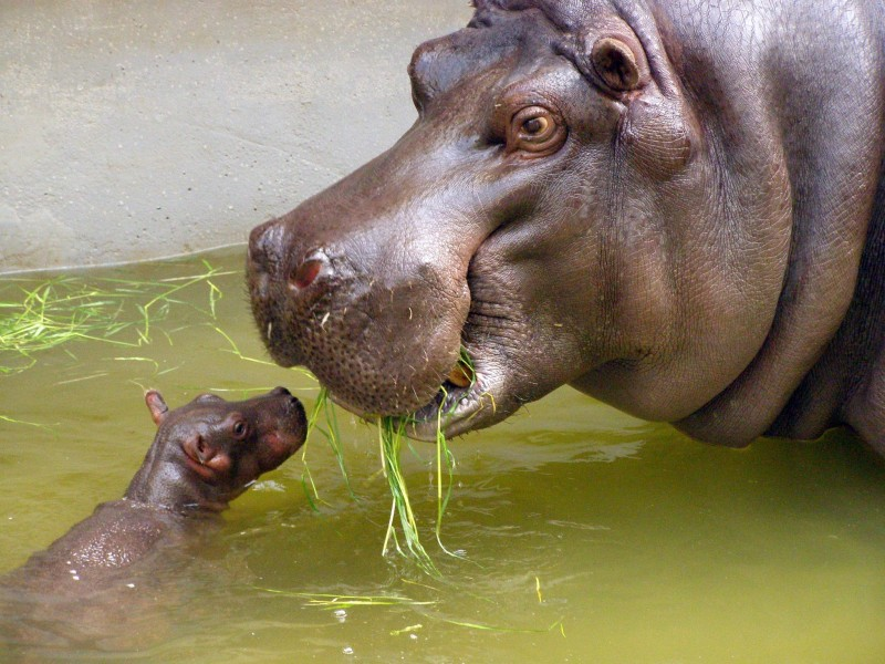 Mother and very small baby hippo