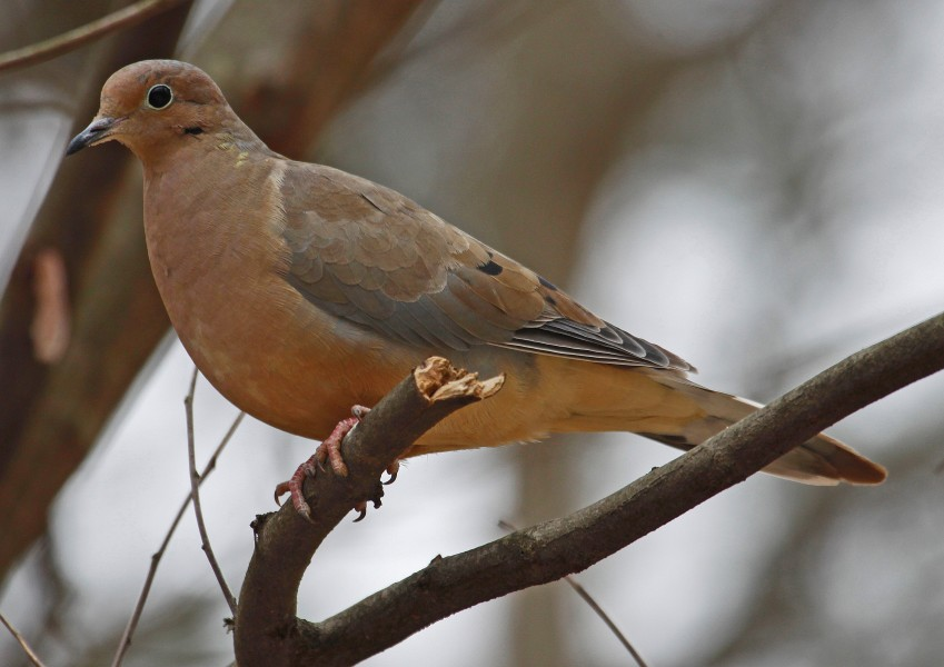 Mourning Dove - Zenaida macroura, Woodbridge, Virginia